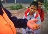 tomaten worden geoogst